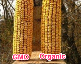 GMO_and_Organic_Corn_Cob