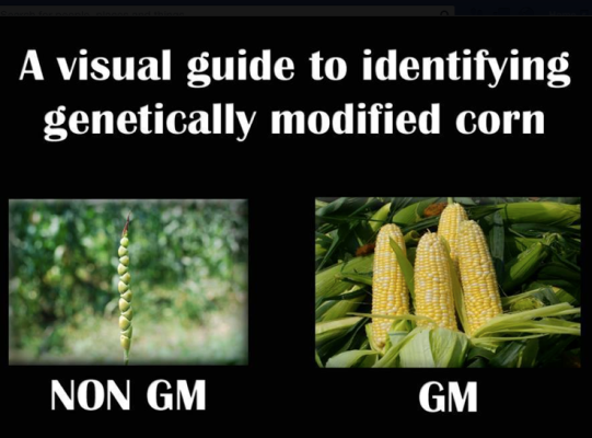 Non-GM and GM corn